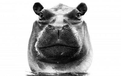 L'Hippopotame – par le MAN